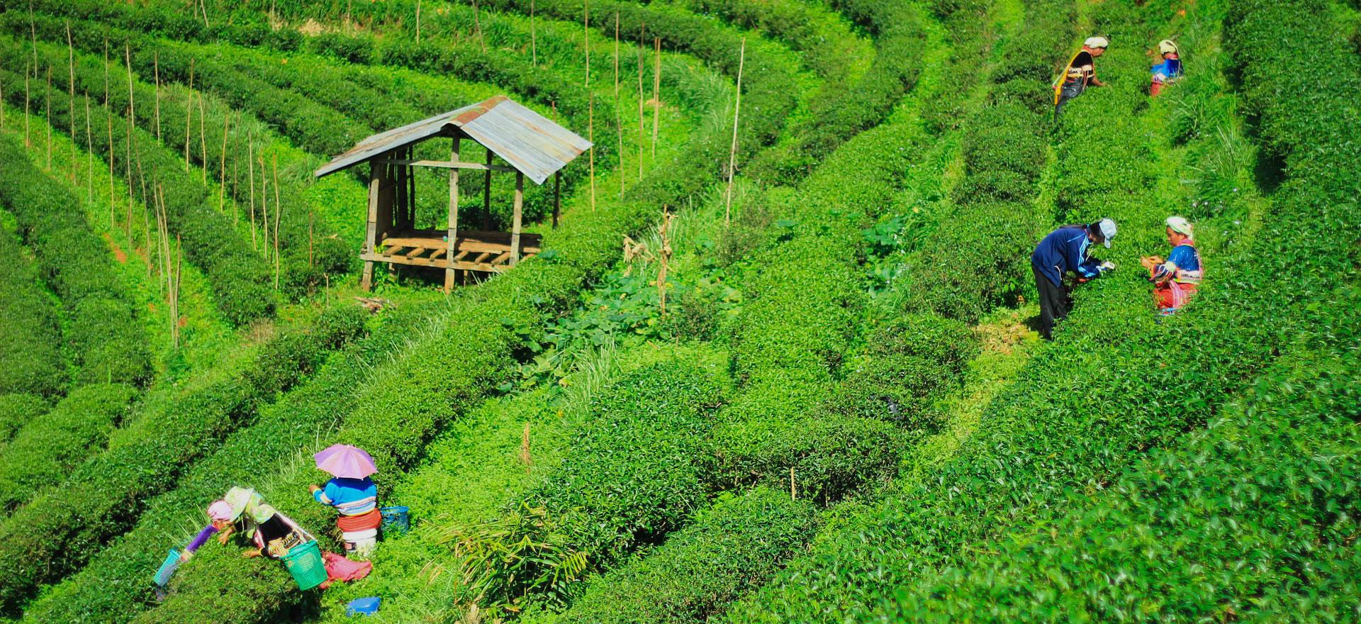 Mayur Valley Tea